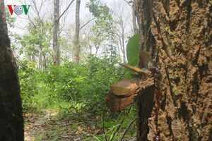 Khu rừng bị đầu độc chết khô ở Bình Thuận