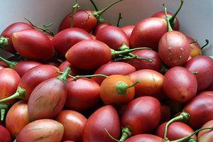 Cà chua thân gỗ độc, lạ, mang lại thu nhập hàng trăm triệu đồng mỗi vụ