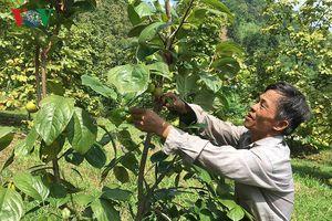 Thu nhập tiền tỷ từ trồng hồng Vành khuyên theo tiêu chuẩn Vietgap