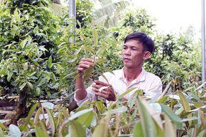 Thận trọng khi nhân giống và trồng sầu riêng Musanking