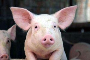Con lợn long đong
