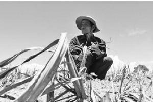 Đắng chát mía Ninh Thuận, nông dân cầm dao đằng lưỡi