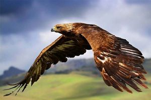 Top 3 loài chim bay nhanh nhất thế giới