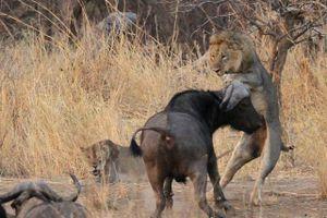 Clip: Giải cứu muộn màng, trâu rừng bất lực nhìn sư tử xé xác đồng loại