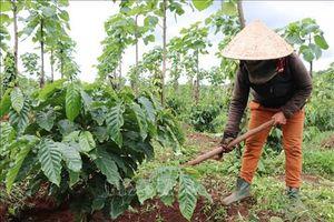 Cà phê vối sau khi trồng tái canh cho năng suất rất cao ở Tây Nguyên