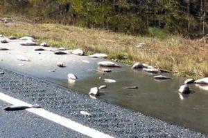 Cá chết nhiều trên đường ở Mỹ sau bão Florence