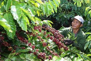 Thực hư thông tin tư thương mua lá cà phê với giá cao bất thường