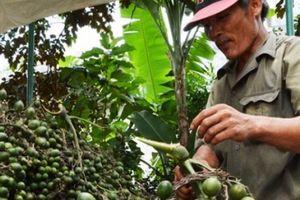 Mùa cau trúng mùa trúng giá, trồng có 300 cây bỏ túi gần 200 triệu