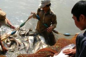Giá cá thát lát tăng ngất ngưởng, cứ 1kg người nuôi lãi 45.000 đồng