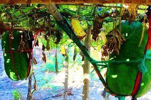 Những làng trồng rau củ khổng lồ ở Việt Nam