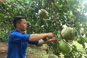 Nam thanh niên dân tộc Thổ 'vang danh' với cây bưởi hồng Quang Tiến
