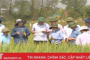 Thắng lợi vụ hè thu ở Hà Tĩnh và bài học từ cơ cấu giống