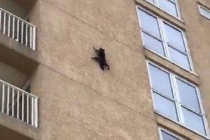 Clip: Gấu mèo trèo tường rồi phi thân như người nhện