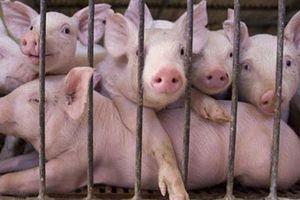 Lợn hơi tiếp tục tăng giá