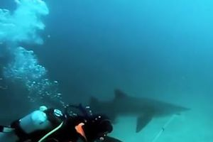 Thợ lặn dũng cảm cứu cá mập thoát khỏi lưới câu
