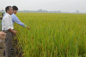 Vật tư - NA6 có xứng sản phẩm lúa gạo quốc gia?