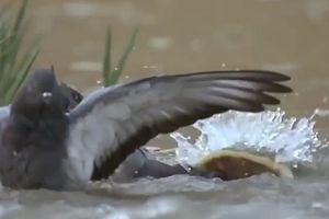 Clip: Bồ câu xấu số bị cá trê dài 2,5m nuối chửng trong nháy mắt