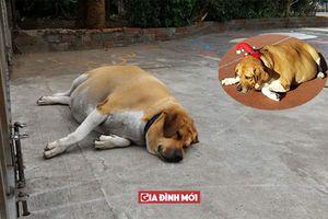 Ngôi trường quy định cấm học sinh không cho chó gác cổng ăn vì nó quá béo không đi nổi