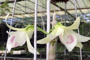 Giỏ hoa lan 6,8 tỷ ở Đà Nẵng