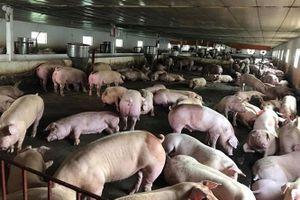 Nỗ lực ngăn chặn dịch tả lợn Châu Phi tại điểm nóng Cao Bằng