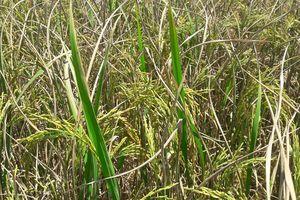 Thanh Hóa: Nhiều sâu bệnh hại lúa