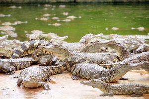Clip: Rùng mình trang trại cá sấu 40.000 con 'khủng' nhất miền Tây