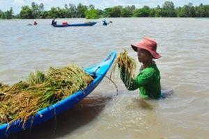 Đồng bằng sông Cửu Long thu hoạch lúa chạy lũ