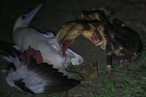 Rùng mình cảnh cua dừa tấn công 'hạ sát' chim biển