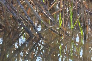 Nước lũ đổ về, nhiều nông dân trồng mía có nguy cơ trắng tay