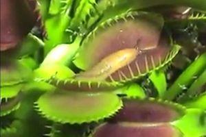Clip: Kinh hoàng cảnh cây bắt ruồi ăn cả ốc sên