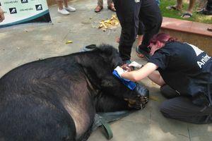 Người dân bàn giao gấu ngựa nặng 200 kg