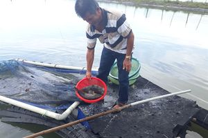 Sau một đêm hồ nuôi cá mú chết trắng không rõ nguyên nhân
