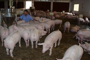 Không chủ quan dịch tả lợn Châu Phi