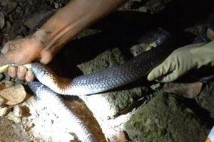 Lạng Sơn: Hãi hùng rắn hổ mang 2m chui trong chuồng gà nhà dân