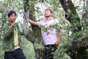 Rừng táo sơn tra hơn 150 tuổi, 'đẻ' sòn sòn, cho cả tạ quả/cây