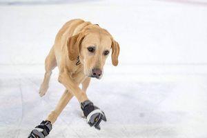 Kinh ngạc với khả năng trượt băng của chú chó Benny