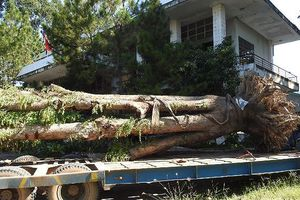 Vụ cây giáng hương hồ Dầu Tiếng bị 'đào trộm': Đã tìm thấy cây