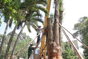 Công an điều tra vụ cây giáng hương 'khủng' bị bứng