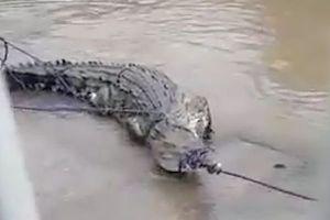 Clip: Người dân Mexico vây bắt cá sấu bơi lạc vào thành phố