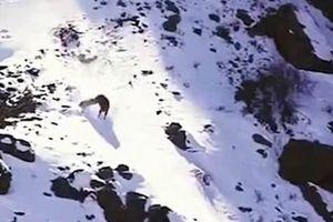 Clip: Báo tuyết truy đuổi cừu núi rồi lao xuống vách núi hơn 120m