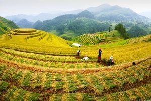 Chiêm ngưỡng bộ ảnh `Cốm thơm Mù Cang Chải` của NSNA Nguyễn Thanh