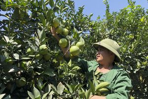 Cam Con Cuông (Nghệ An) vào vụ được mùa, được giá