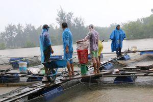 Rủi ro nghề nuôi cá lồng bè