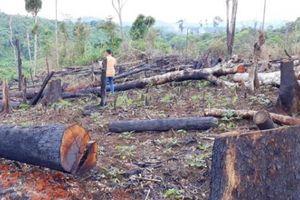 Gia Lai: Điều tra vụ chặt 336 cây gỗ