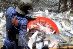 Khan hiếm nguồn cung, giá cá tra ở mức 'lịch sử'