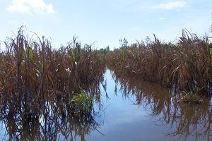 Hậu Giang: Hơn 120ha mía ngập trong nước lũ