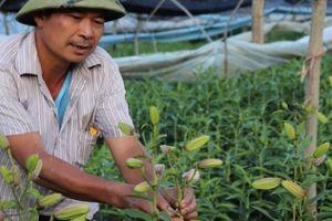 Sa Pa: Thu tiền tỷ từ hoa ly Hà Lan trồng trên ruộng bậc thang
