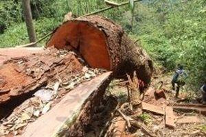 Khởi tố, bắt giam hai kiểm lâm liên quan vụ phá rừng Nam Sông Bung