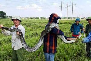 Bắt được con trăn 'khủng' trong ruộng lúa, rao bán giá bèo