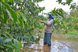 Gia Lai: Mưa kéo dài, nhiều diện tích cà phê chết úng